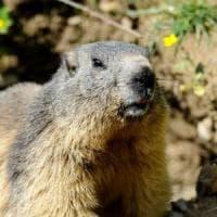 Due casi di peste bubbonica in Mongolia: scatta il divieto di caccia alle marmotte