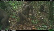 I gorilla di Cross River filmati per la prima volta insieme ai loro cuccioli