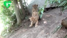 Evento storico al Bioparco: nate due cucciole di leone asiatico