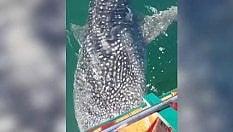 Lo squalo balena si avvicina ai pescatori e si lascia accarezzare