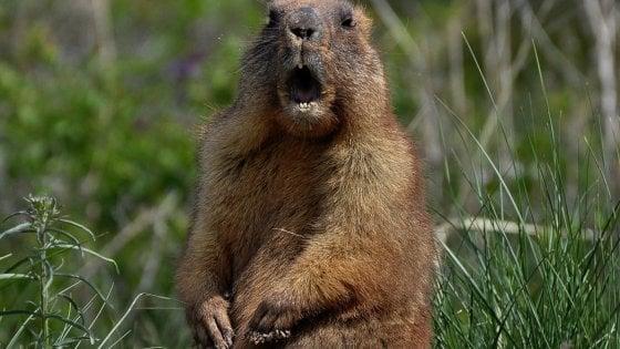 Mongolia, caccia e poi mangia una marmotta: adolescente muore di peste bubbonica