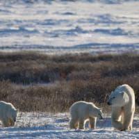 Clima, orsi polari a rischio estinzione entro il 2100