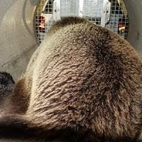 L'orso M49 è fuggito di nuovo dal recinto di Casteller