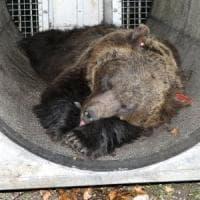 Trentino: catturata e rilasciata orsa, ma non è M49