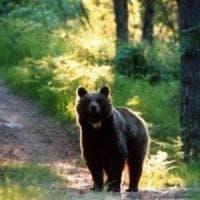 """L'orsa JJ4 non sarà abbattuta, il Tar di Trento: """"Non imputabile di aggressione"""""""
