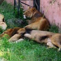 Maltrattamenti e sevizie, la morte di due leoni indigna il Pakistan