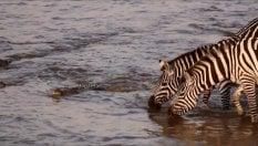 Il coccodrillo cattura la zebra nel fiume: ma il finale è un colpo di scena