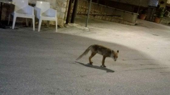 Paesino molisano adotta volpe che ogni sera va al bar