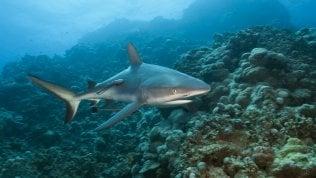 Una trappola per gli squali nel reef/ Lo speciale In collaborazione con Fondation Segré
