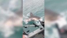 Il pescatore beffato all'ultimo istante: lo squalo gli strappa la lenza