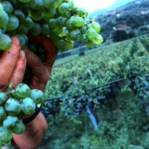 Effetto Covid, frenata per il vino. I produttori: Quadro difficile ma nessun allarme
