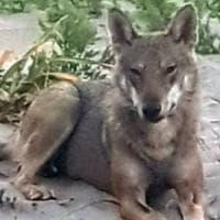 Confermato: è un lupo l'animale che si avvicinava ai turisti in spiaggia in Salento