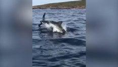 Squalo bianco salta fuori dall'acqua: l'uccello riesce a sfuggire all'attacco