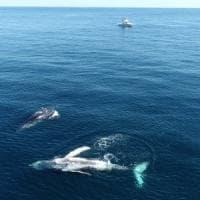 Australia, seconda donna colpita da una megattera. Intrappolata tra la balena e il...