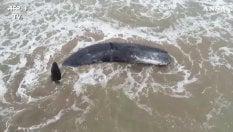 Capodoglio si spiaggia sulla costa: i soccorritori non riescono a salvarlo