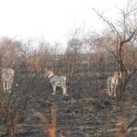 Kenya, il parco Tsavo brucia da settimane: incendi dolosi e il crollo del turismo non...