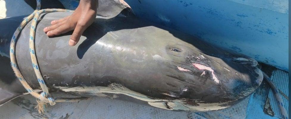 Mauritius, disastro ambientale: continuano a morire delfini, e anche due balene