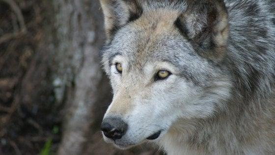 Stati Uniti, i lupi grigi non saranno più una specie protetta: riparte la caccia