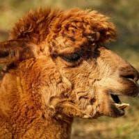 Coronavirus, trovati nell'alpaca i nanoanticorpi che lo neutralizzano