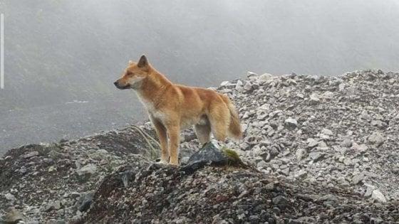 Ricompaiono a sorpresa i cani che cantano in Nuova Guinea