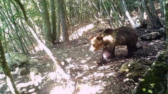 Trentino. È stato catturato l'orso M49