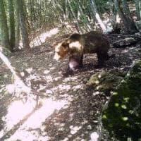 Trentino, è stato catturato l'orso M49