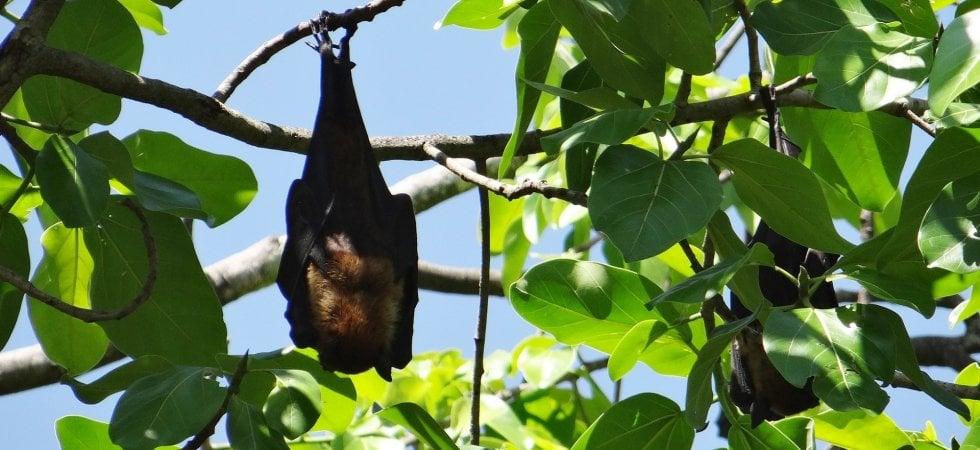 Volpi volanti da record, viaggiano come uccelli migratori