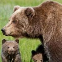 L'orsa Jj4 resta libera: il Tar del Trentino sospende l'ordinanza di cattura