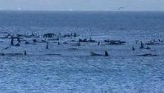 Settanta balene spiaggiate: è corsa contro il tempo per salvarle