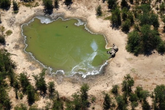 Botswana, strage di elefanti: più di 300 uccisi da un batterio