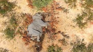 Strage di elefanti: più di 300 uccisi da un batterio