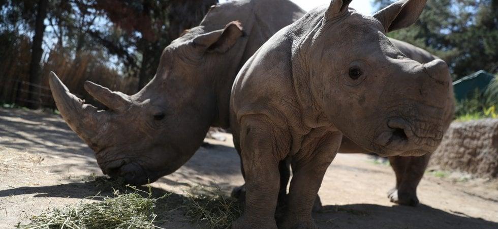 Rinoceronti, cresce la speranza per la conservazione