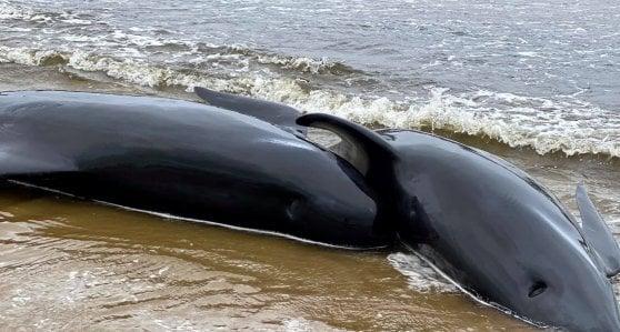 """Australia, 90 balene pilota morte al largo della Tasmania. I soccorritori: """"Sono 270, ne perderemo altre"""""""