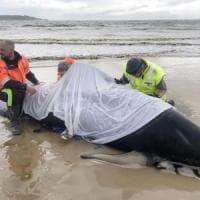 Tasmania, aumentano le balene spiaggiate: 380 morte, 50 salvate e solo 30 ancora in vita