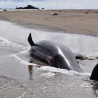 Australia, impossibile salvare tutte le balene spiaggiate. Gli esperti scelgono ...