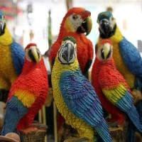 Regno Unito, separati i 5 pappagalli che facevano a gara a insultare i visitatori dello...