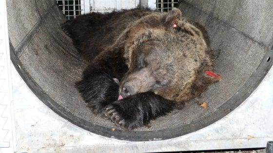 """Trentino, il dietrofront di Fugatti: """"Non si possono più catturare gli orsi"""""""