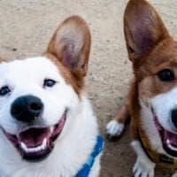 Per i cani le facce contano poco, almeno nel loro cervello