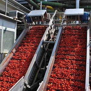 Pomodoro da industria: campagna record (+7,6%)