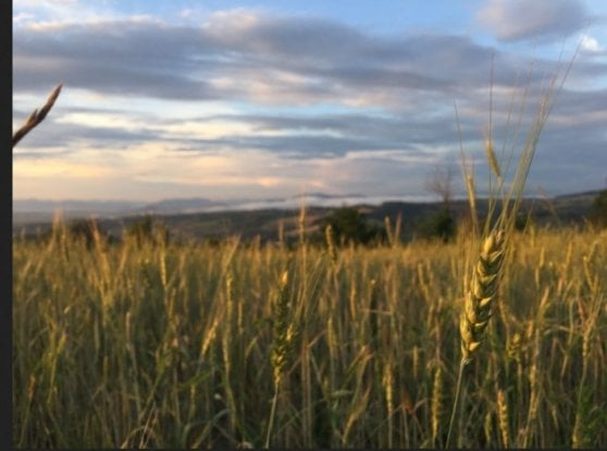 Pasta: Cia, no a polemiche su grano duro nazionale. Basso il prezzo, non la qualità
