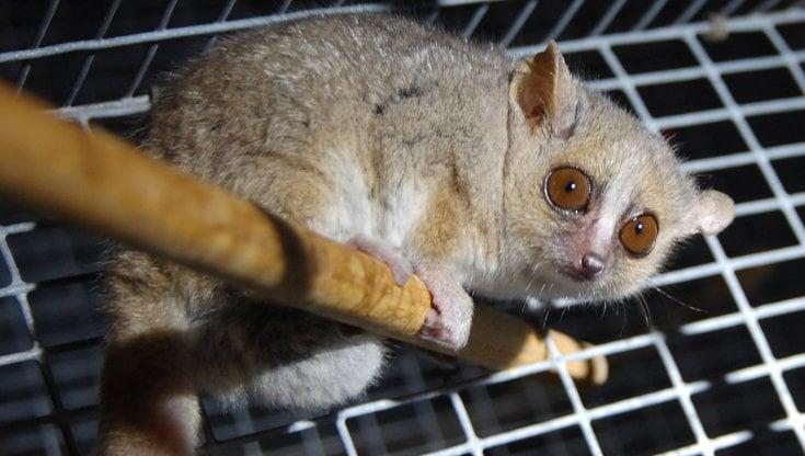 Viaggi spaziali, la chiave del sonno criogenico nell'ibernazione dei lemuri