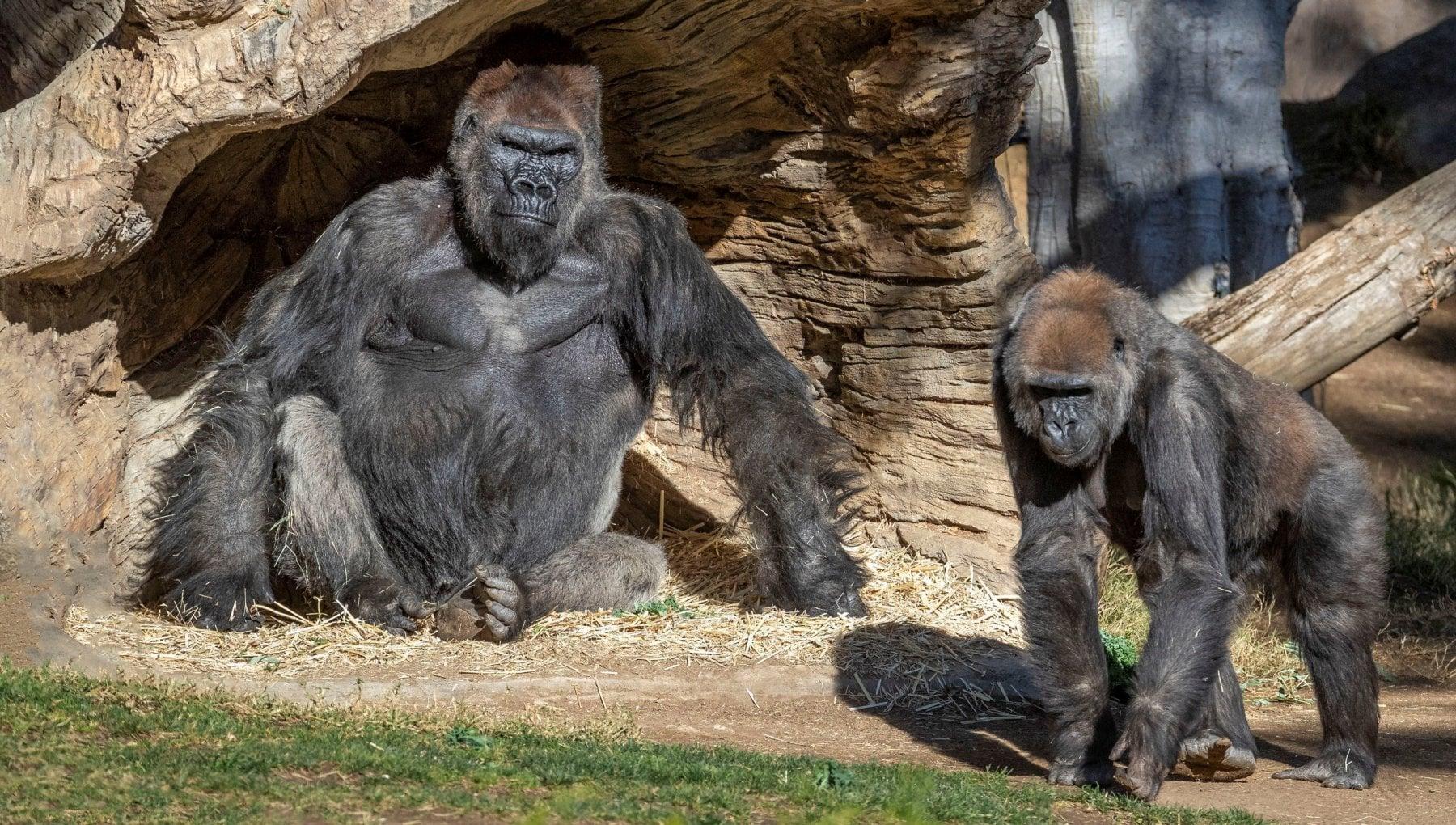 004210716 5873438c 9652 40d1 b506 f1245a4ffe74 - Stati Uniti, nello zoo di San Diego almeno due gorilla positivi al coronavirus