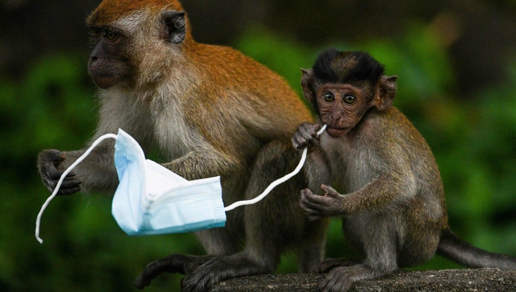 130426309 d2251197 875f 423f 99c0 d43926554dcf - Bali, le scimmie rubano telefoni e occhiali per barattare più cibo