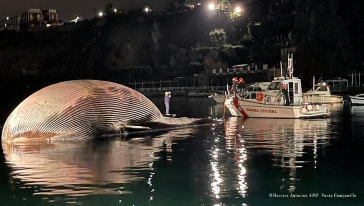 A Sorrento recuperata la balena più grande d