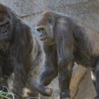 Usa, vaccinati contro il Covid oranghi e bonobo