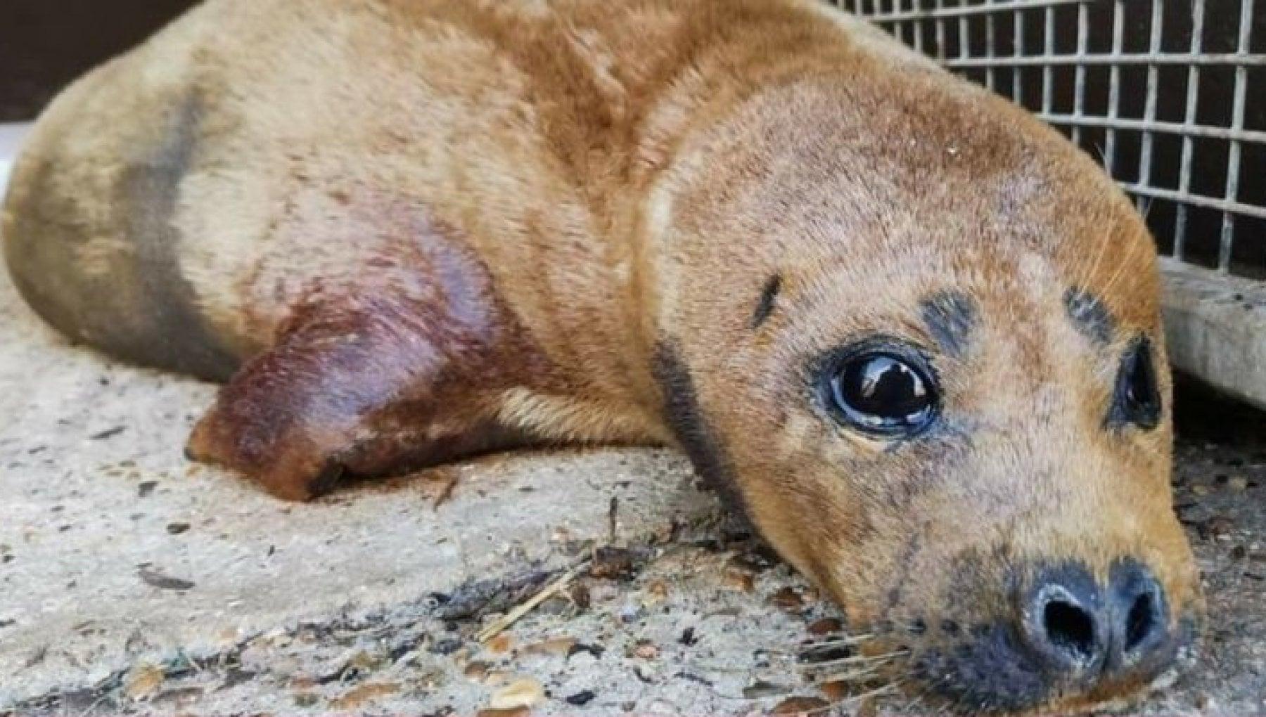 173114157 6ffe26b3 9bd1 43dc b945 acf03f69d1de - Addio a Freddy Mercury, il cucciolo di foca attaccato e ucciso da un cane: era la star del Tamigi