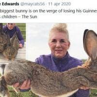 Regno Unito, hanno rapito Darius: il coniglio più grande del mondo