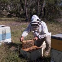 Il miele di Manuka, scontro tra Nuova Zelanda e Australia sull'oro dolce dei Maori