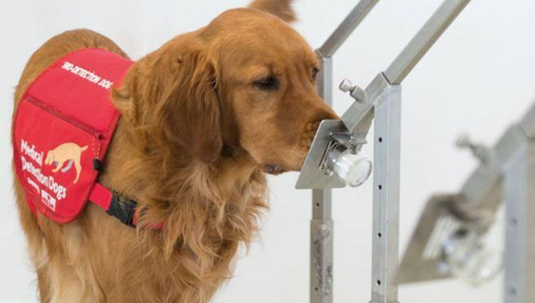 153737471 e2a30189 80b2 4273 9509 58287dc4999b - Il miglior amico dell'uomo nella lotta al Covid: i cani battono i test rapidi nella caccia al virus