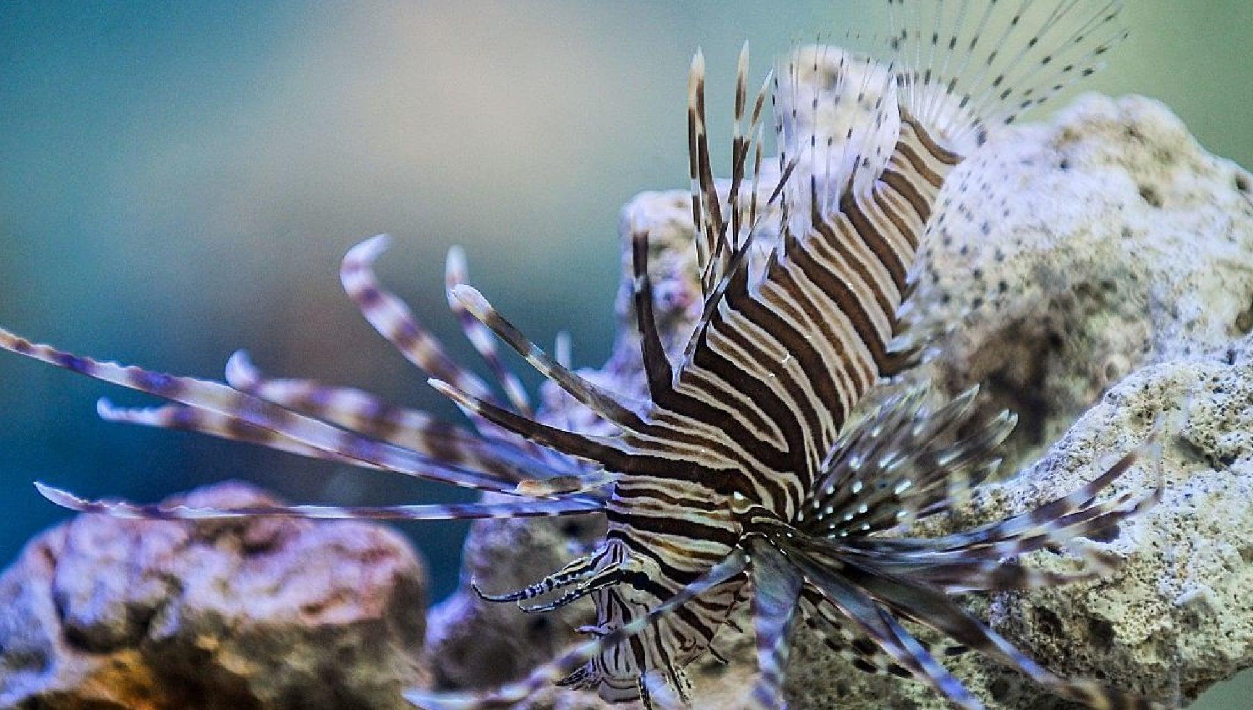 Aiuto, il pesce scorpione è arrivato fino in Brasile